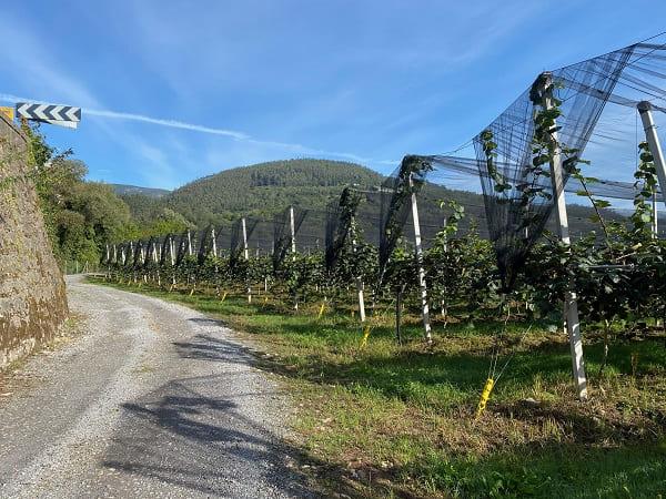 Plantación Kiwis La Rodriga
